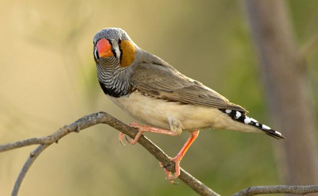 finches  Birds  Gumtree Australia Free Local Classifieds